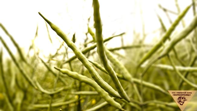 Племенной завод «Комсомолец» приступил к уборке урожая пшеницы, рапса, гречихи и овса