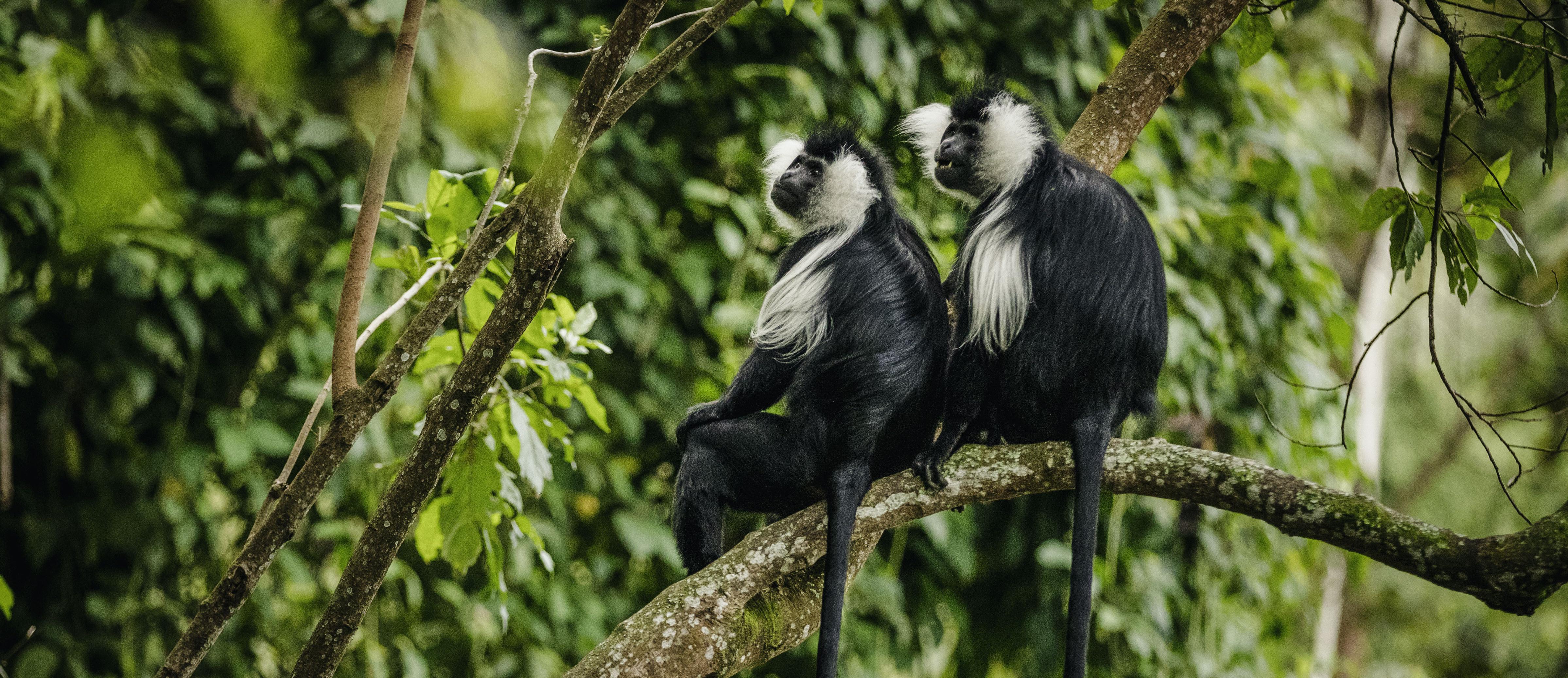 Colobus_Monkey_Nyungwe