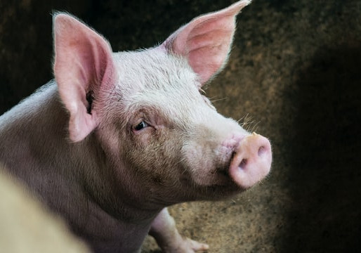 USA Almost Went to War Over a Pig