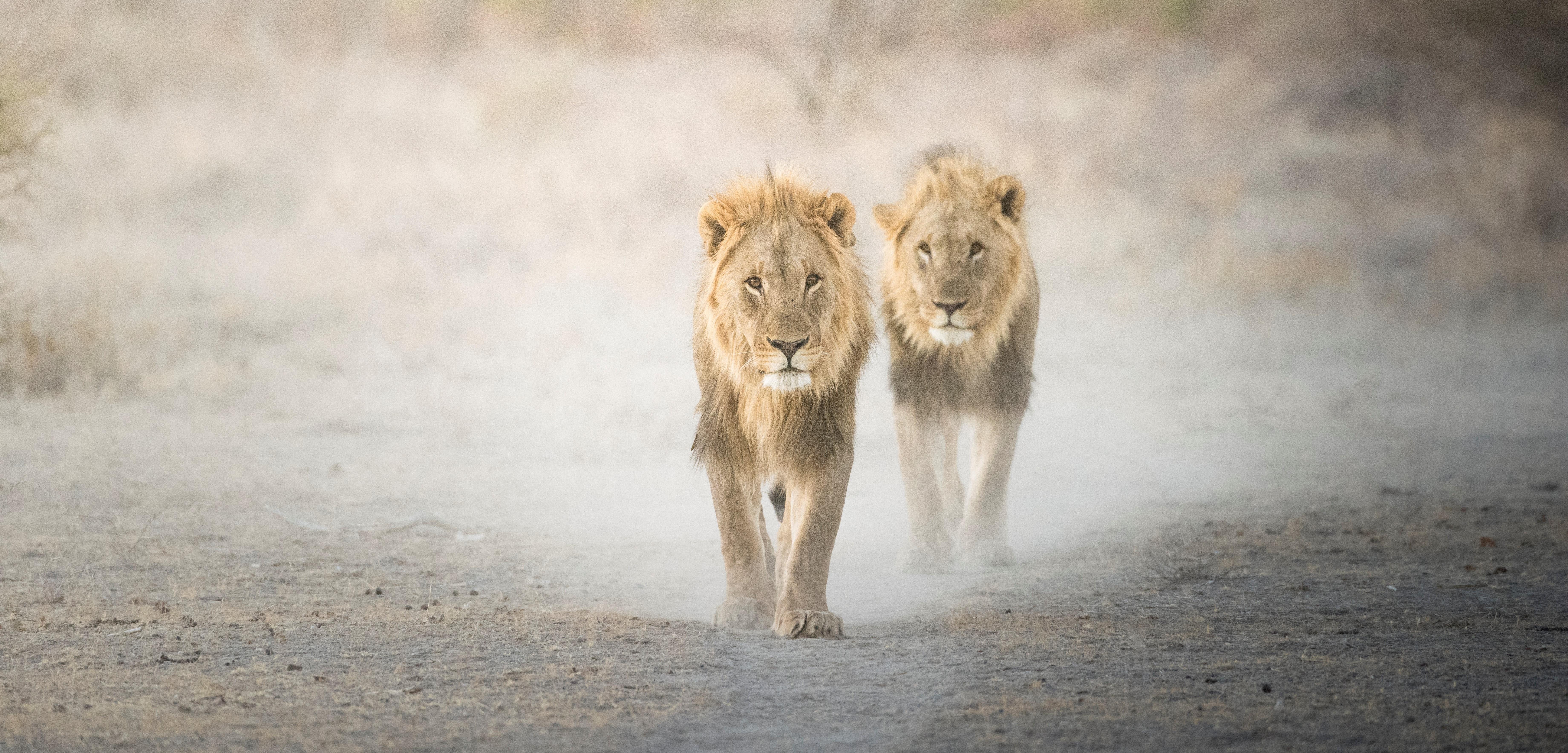 lions-etosha-national-park-namibia