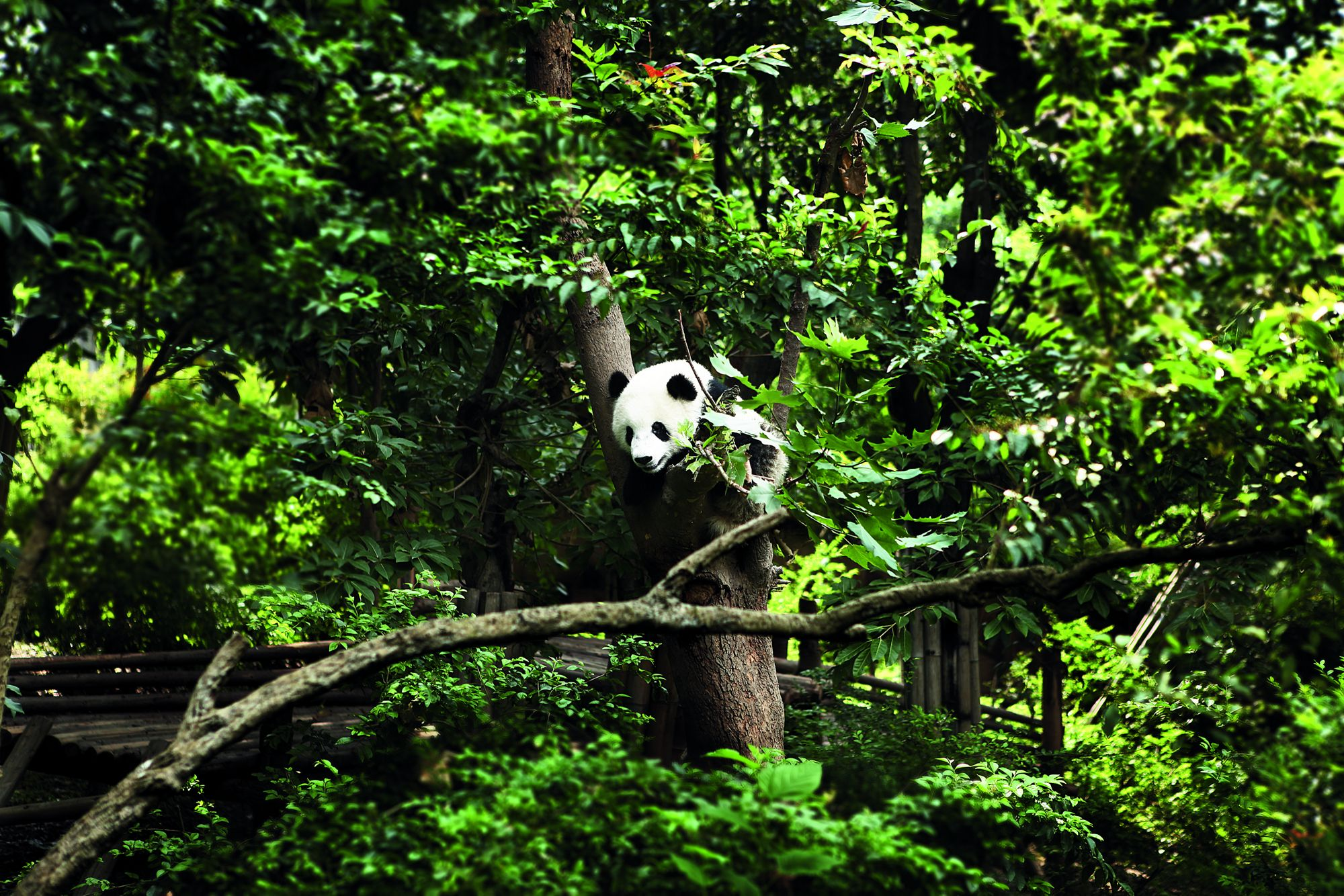 giant-panda-chengdu-china