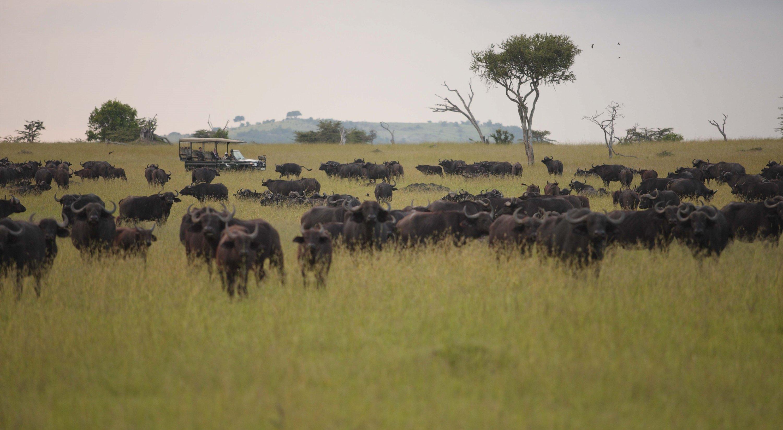buffalo-serengeti-tanzania