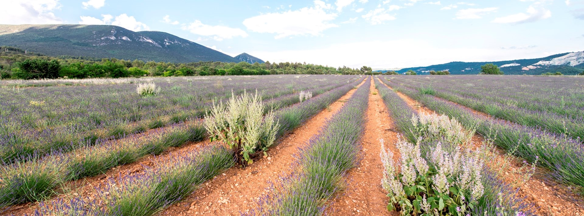 lavender-fields-provence-france
