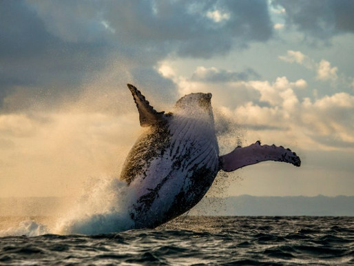 Humpback Whale Population Booming