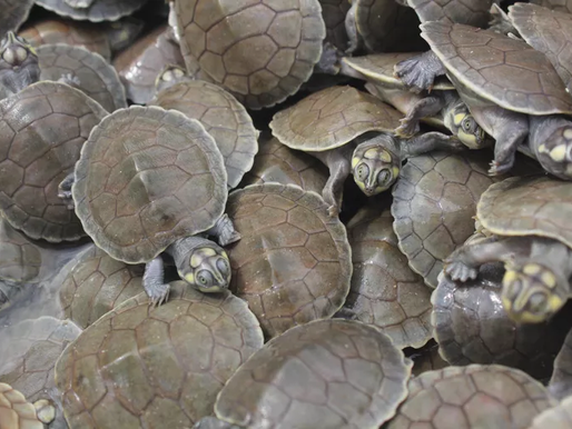 Giant Turtles Booming in Brazil