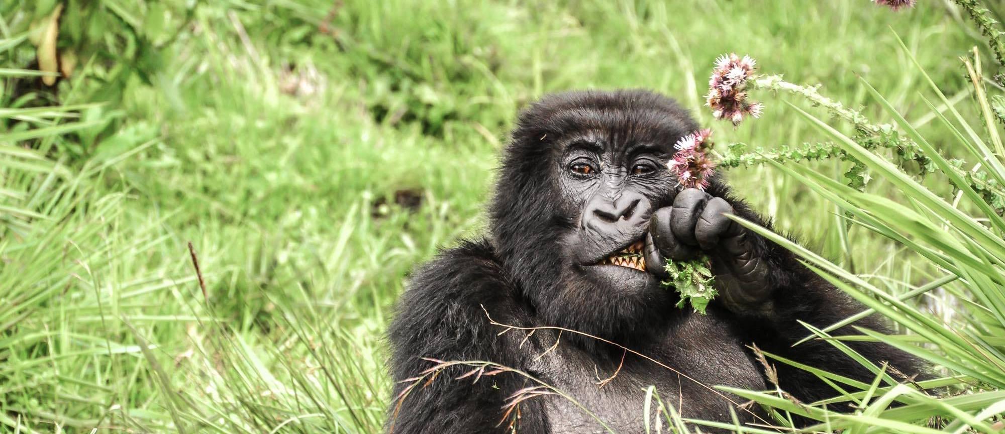 sabyinyo_gorillas_eating_thistles
