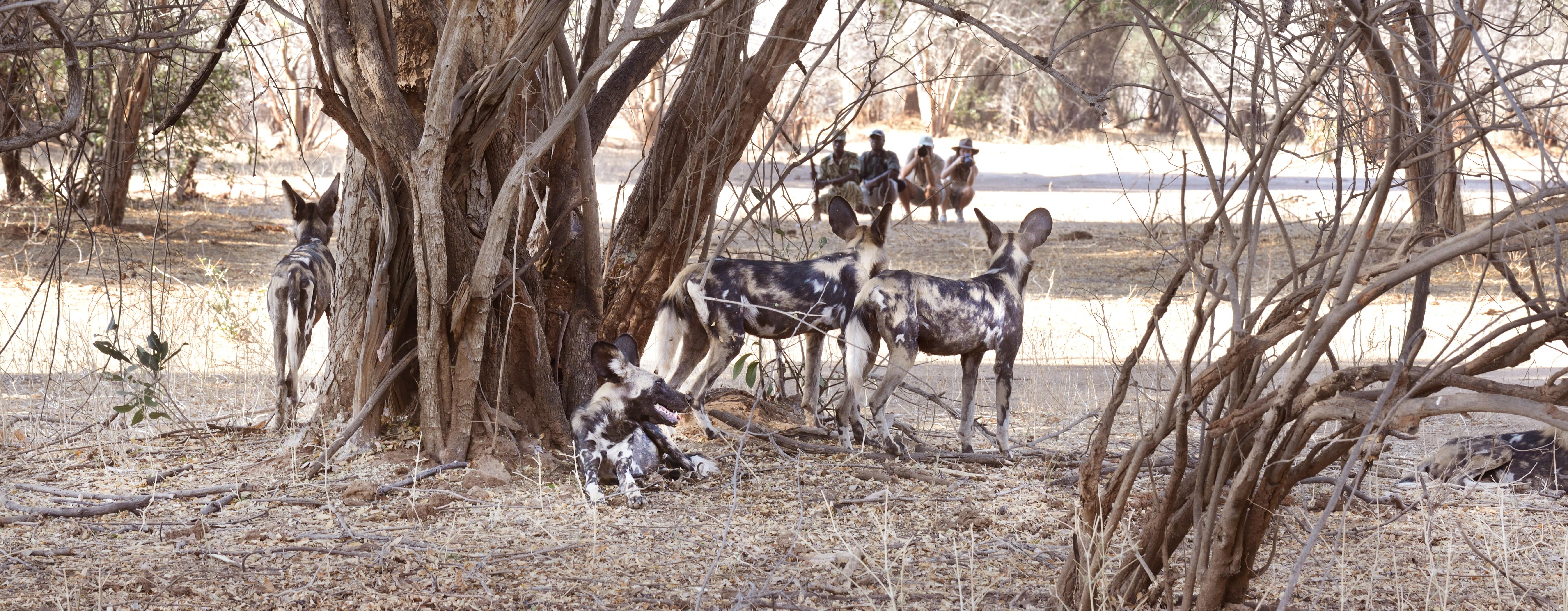 lower-zambezi-zambia-wild-dogs
