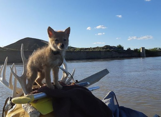 Coyote Goes Rafting