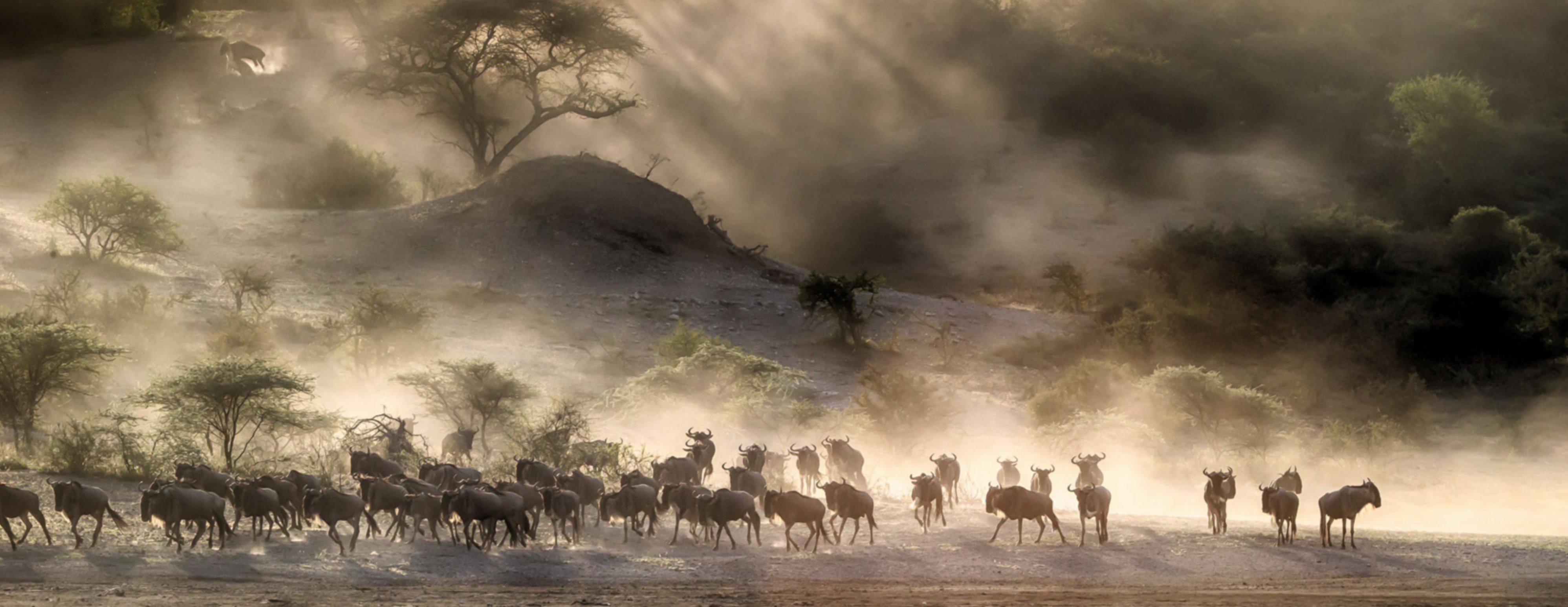 Great-migration-wildebeest