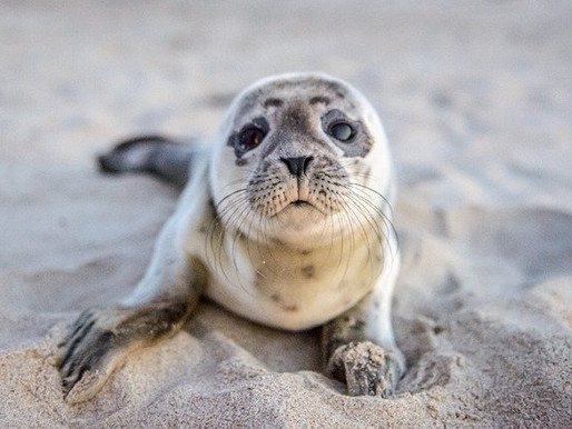 UK Nature Reserve's Record Year for Seal Pups