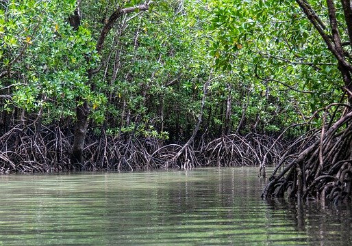 Mangroves Could Help Save the World