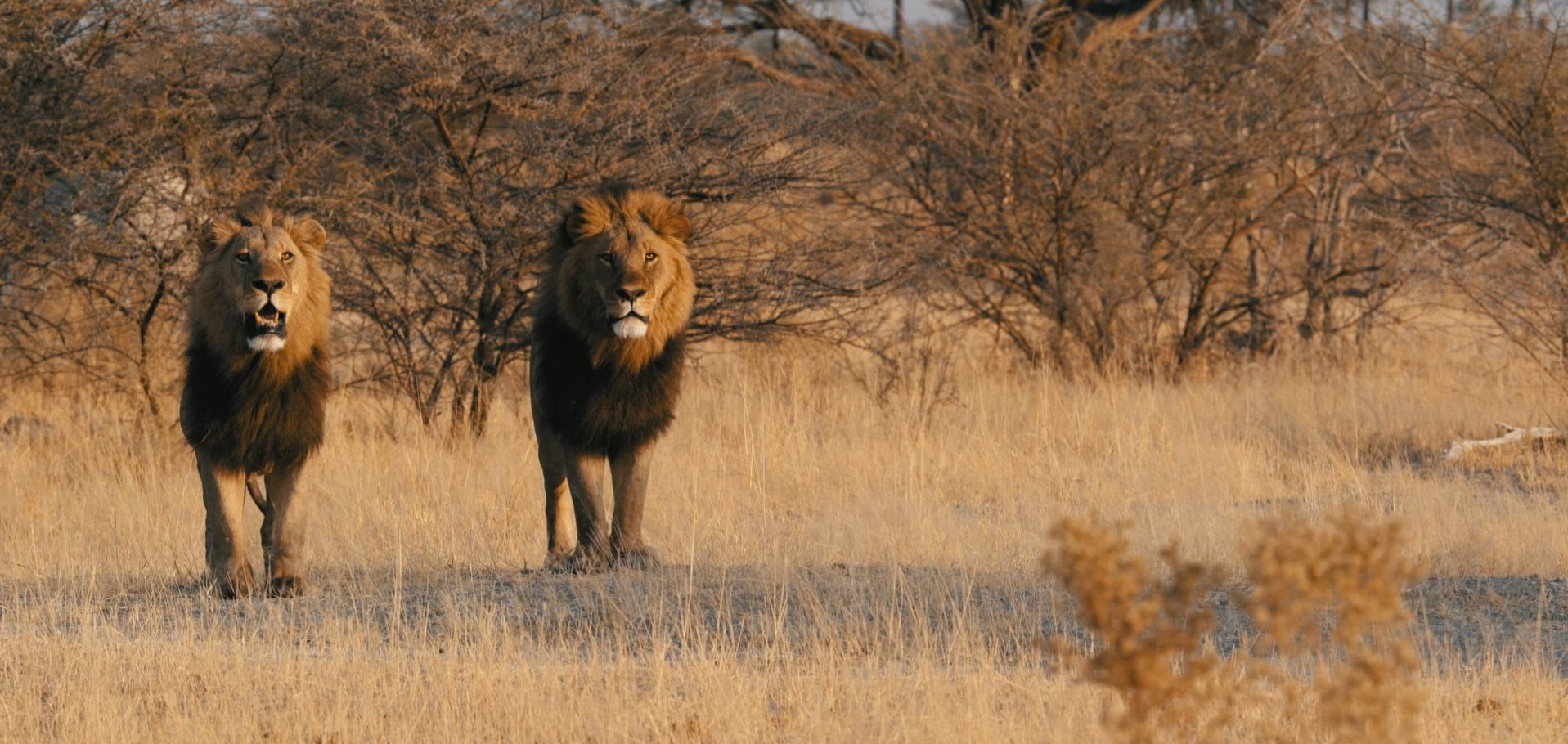 lions-moremi-game-reserve-botswana