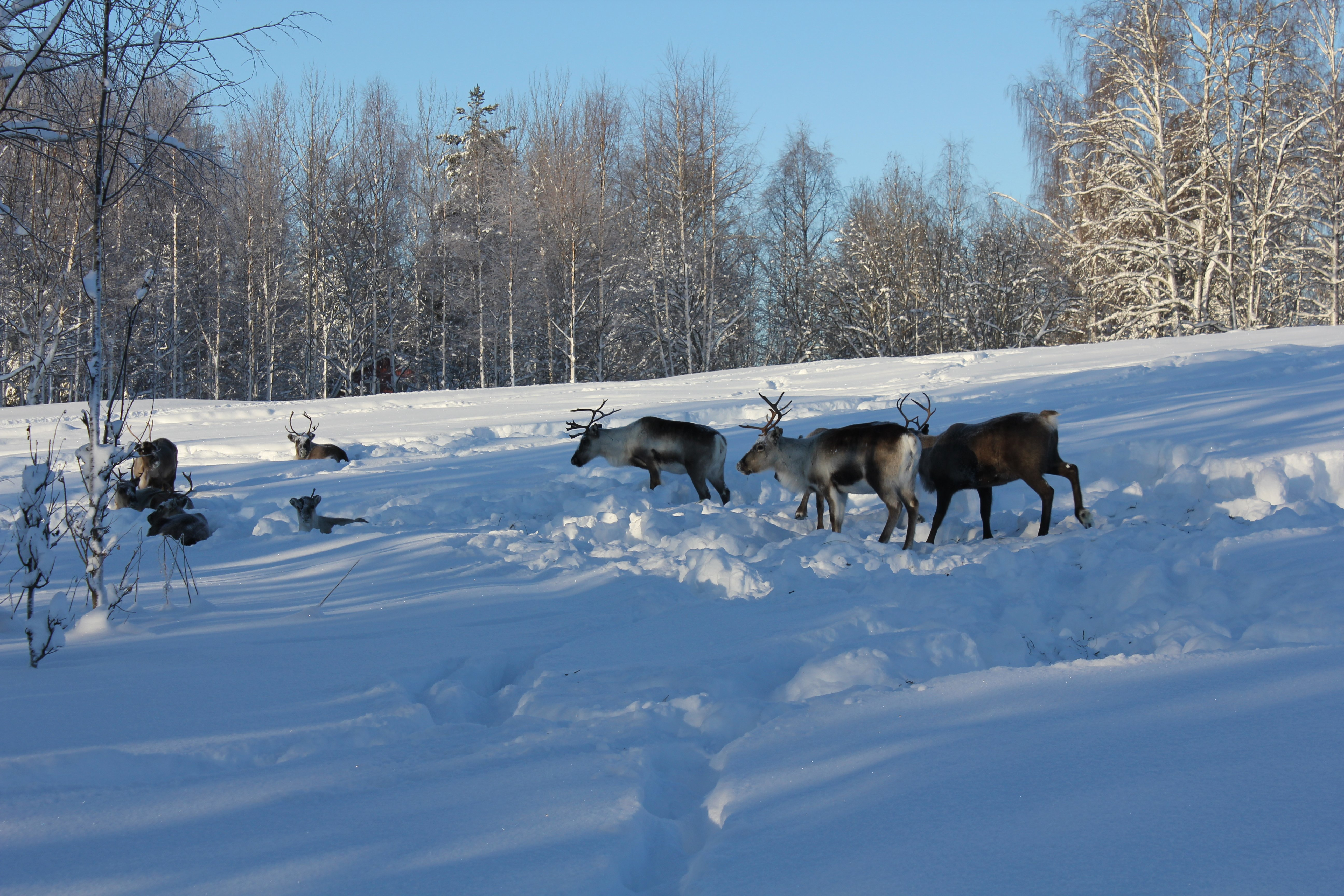 moose-sighting-swedish-lapland