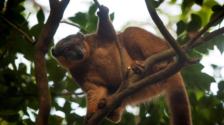 Manafiafy_Madagascar_lemur