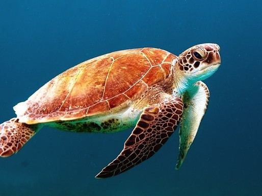 Where Sea Turtles Go After They Hatch
