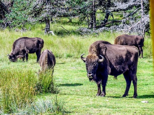 Spain's Wild Bison Provide Multiple Benefits
