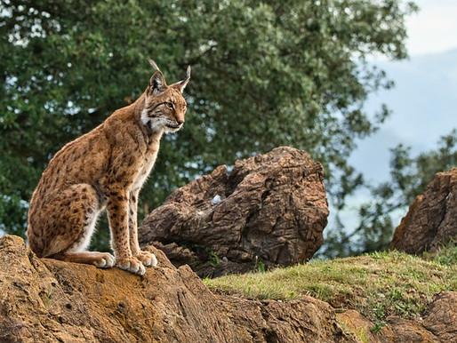Iberian Lynx Success Story
