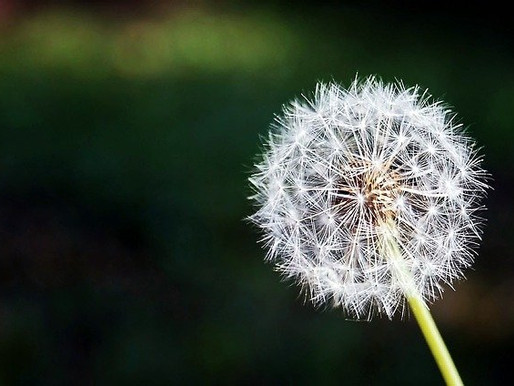 Scientists Discover Why Dandelion Seeds Fly So Far