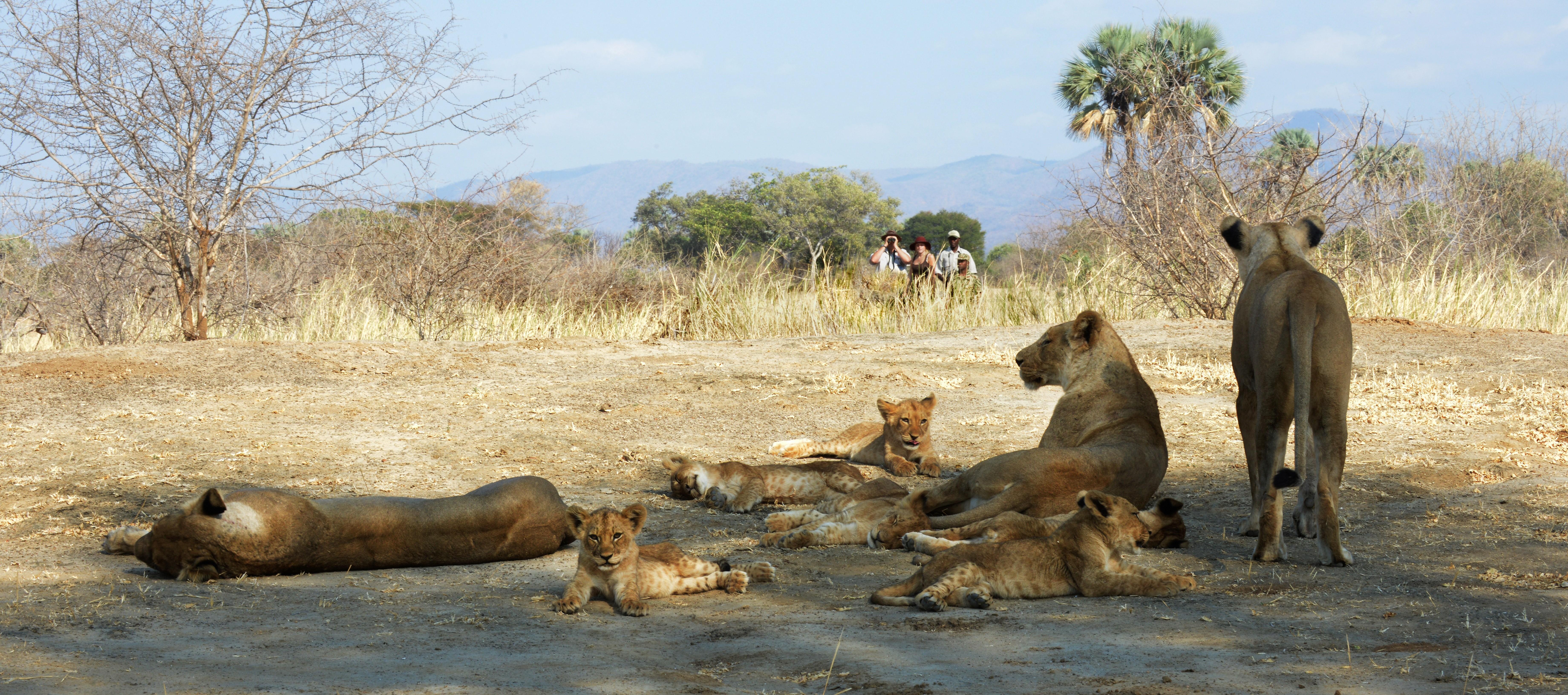 walking-safari-pride-of-lions