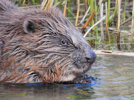 Beaver Bonanza