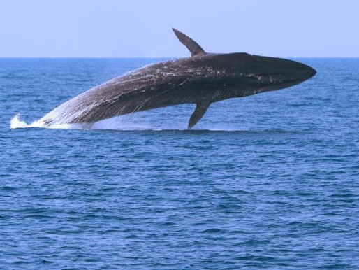 Whale Calls Reverberate Through Earth's Crust