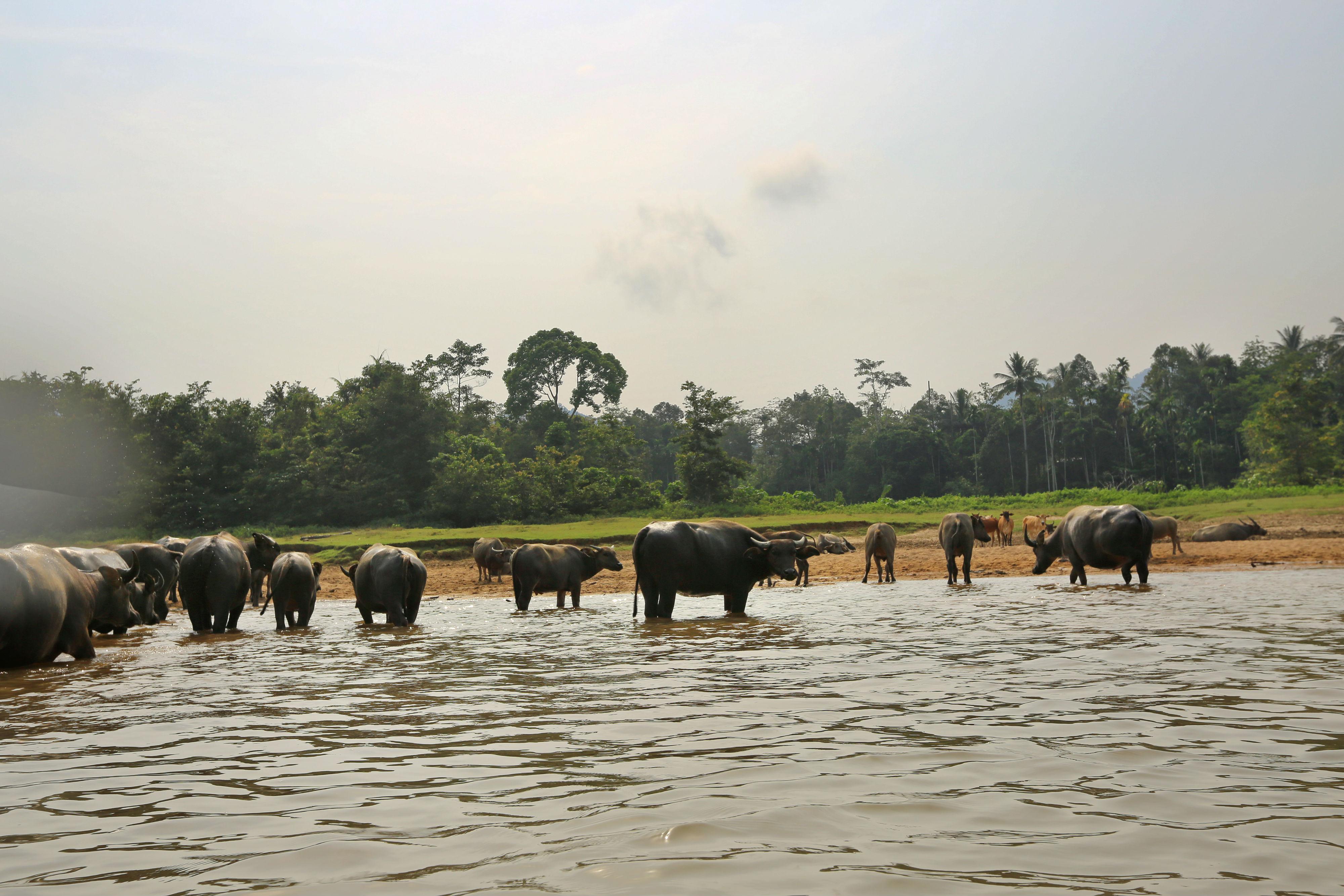 taman-negara-buffalo-drinking