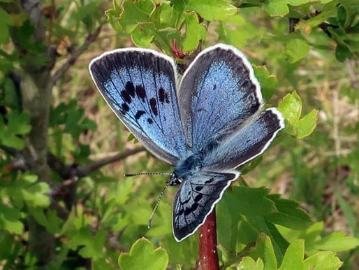 Large Blue Butterfly Returns