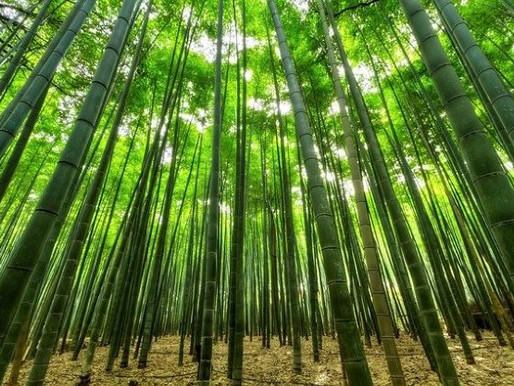 Why Does Bamboo Grow So Fast?