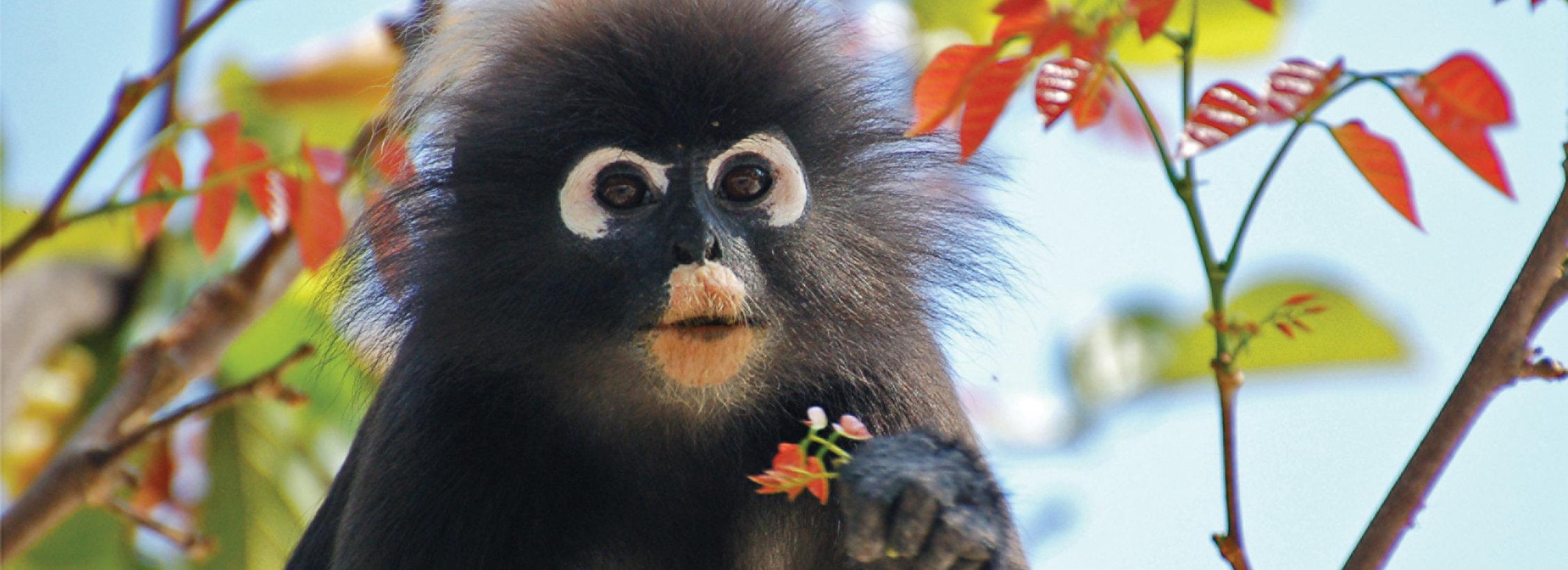 monkey-langkawi