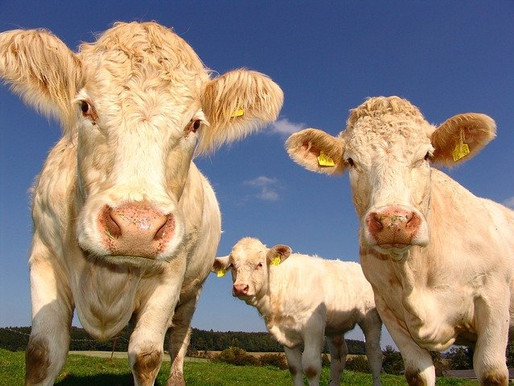 How Scary are Cow Burps?