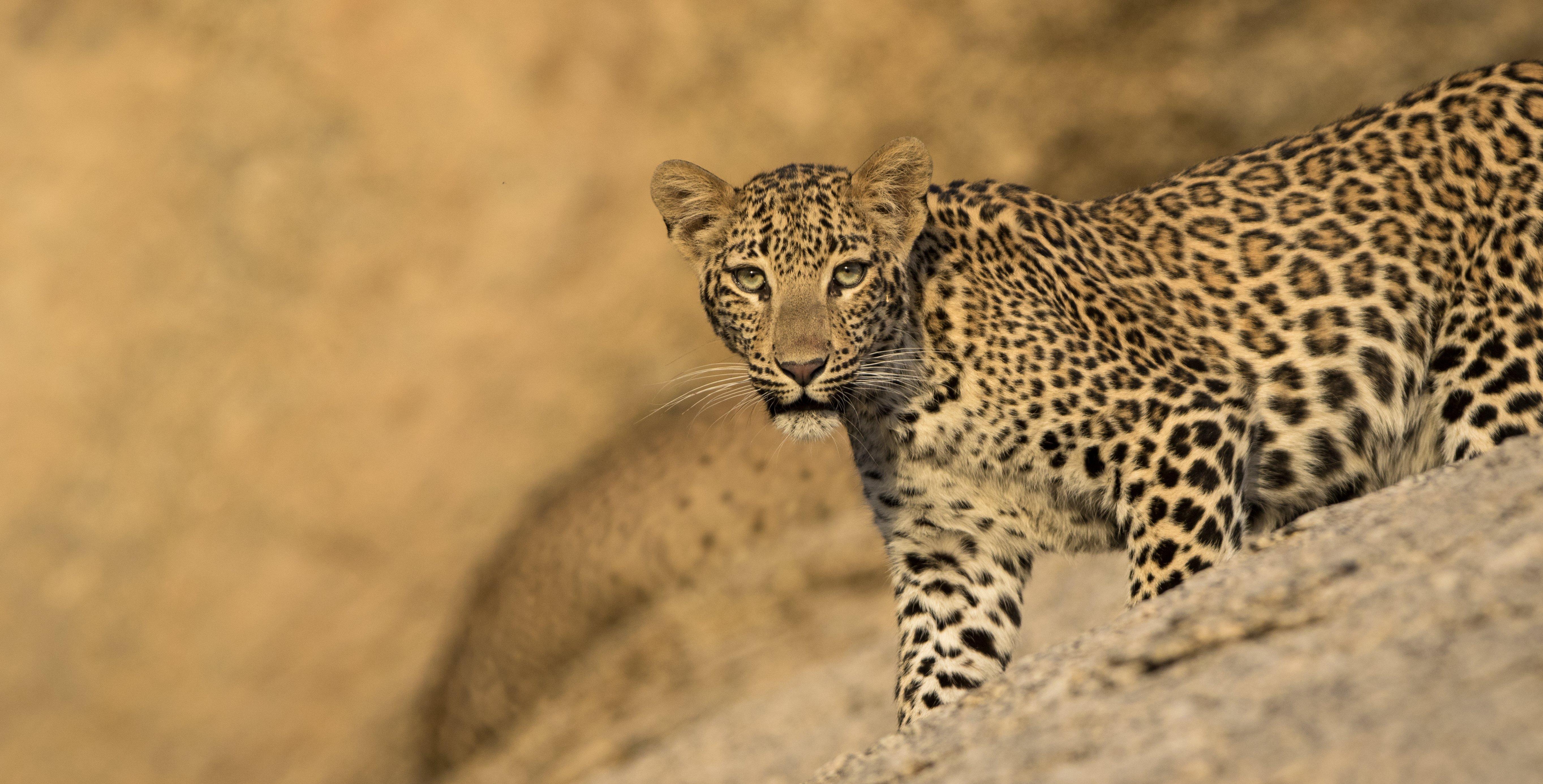 luxury-leopard-safari-rajasthan