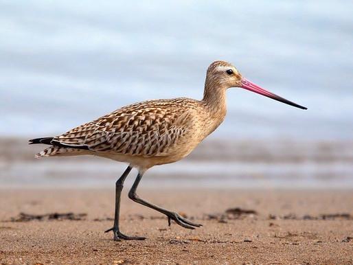 Godwit Breaks Record for Non-Stop Bird Flight