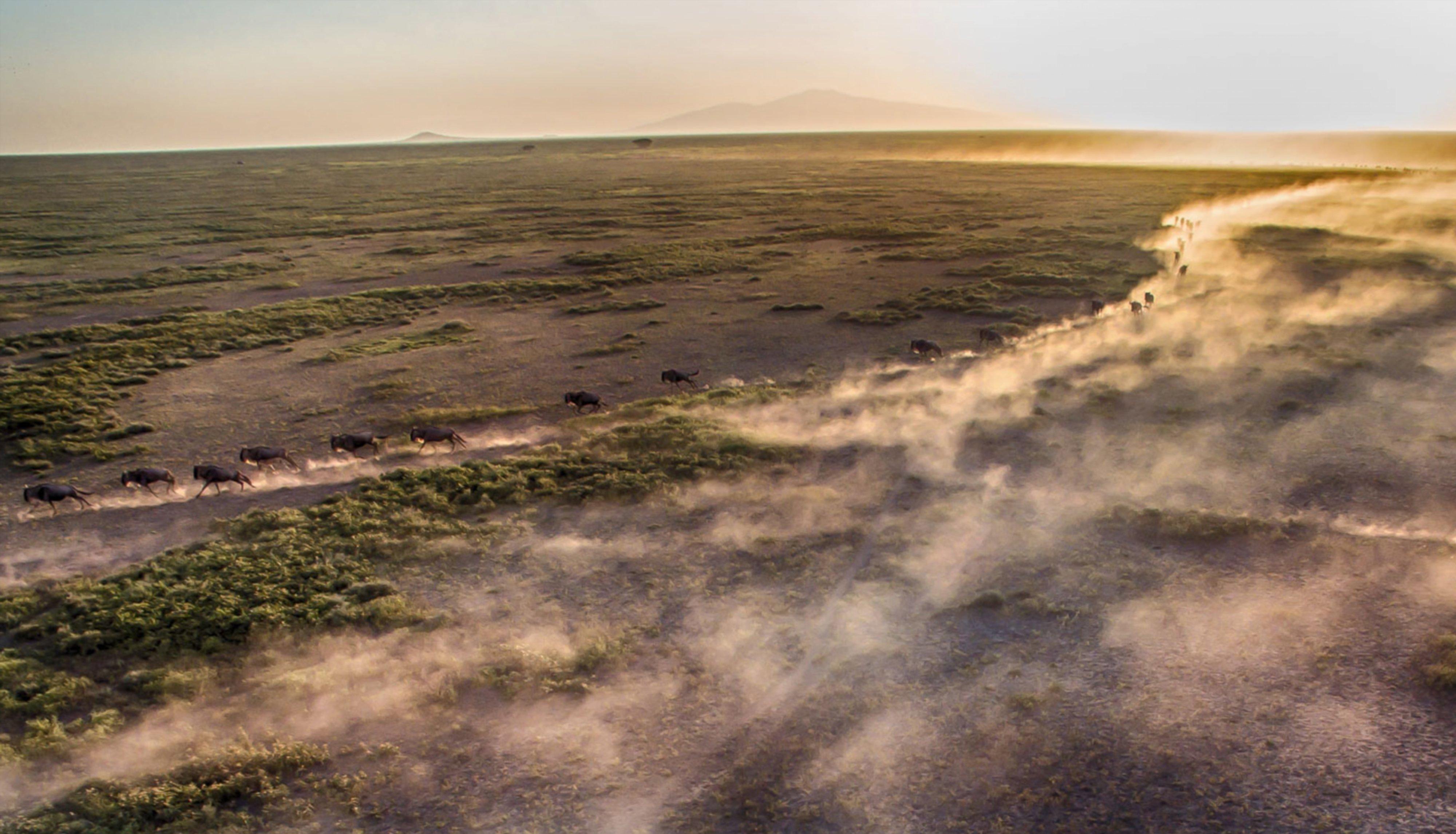 Wildebeest-great-migration-running