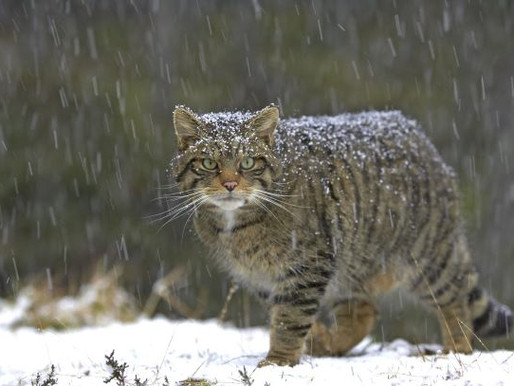 Scotland's Highland Tiger