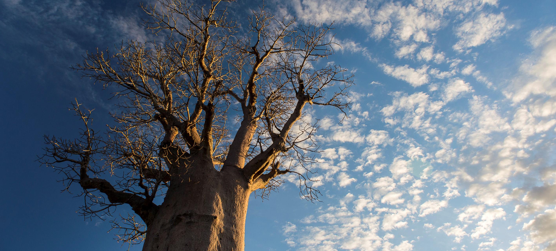mandrare-madagascar-baobab-branches