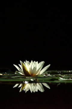 Reflected White Lily - Ringwood