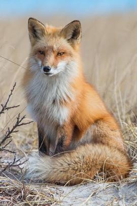 Nick Jaramillo - Red Fox Portrait