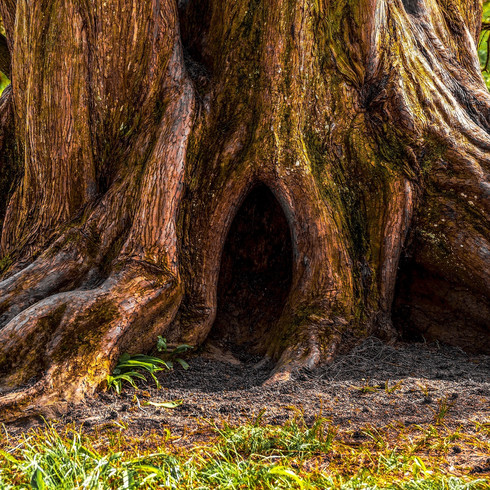 the gnarled old willow tree