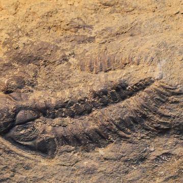 trilobiet, asteropyge