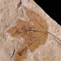Acer trilobatum Esdoorn