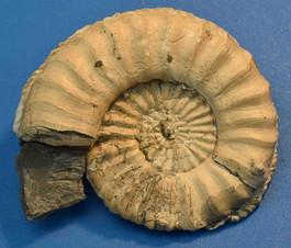 ammoniet fossiel buttenheim duistland