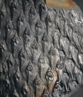 lepidodendron-aculeatum-bast-wolfsklauwboom-zuid-limburg-carboon-hans-steur.jpg