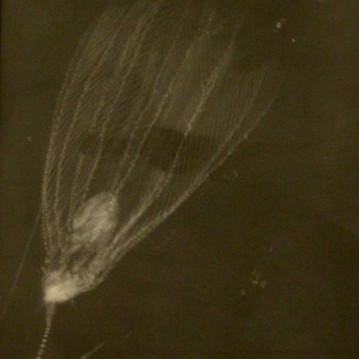 Röntgenfoto van zeelelie