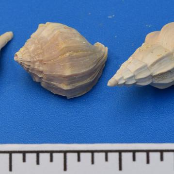 Stepsidura turgida (m) Eospephae friderici (r)