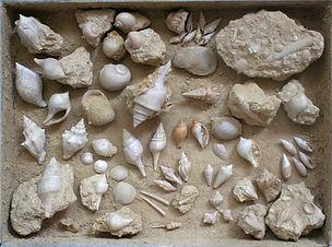 bekken van parijs fossielen schelpen