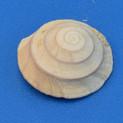 Climacopoma patula (boven)