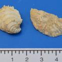 Chama punctata en Cubitostrea plicata(r)