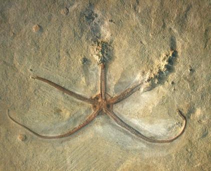 palaeocoma-egertoni-slangster-lyme-regis-jura-hans-steur.jpg