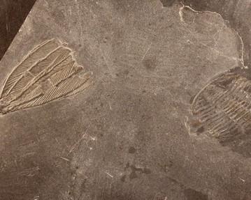 Hexacrinus inhospitales met trilobiet