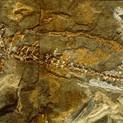 Branchiosaurus petroli amfibie